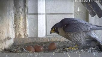 Vijf eieren in het nest op de Brusselse Sint-Michiels en Sint-Goedelekathedraal. (Foto: KBIN)
