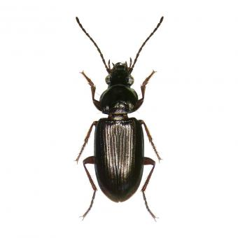 The beetle species Pogonus chalceus lives in salt marches in Guérande (France). (Photo: RBINS)