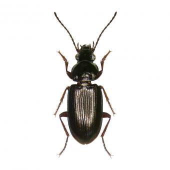 L'espèce de coléoptère Pogonus chalceus vit dans les marais salants de la ville côtière française de Guérande.