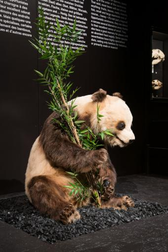 Reuzenpanda - Grand Panda - Giant Panda - Ailuropoda melanoleuca © KBIN / IRSNB / RBINS