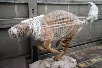 Tiger making-of